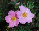 "Fingerstrauch - Potentilla fruticosa; Bildquelle: <a href=""https://www.pflanzen-deutschland.de/quellen.php?bild_quelle=Wikipedia User Salicyna"">Wikipedia User Salicyna</a>; Bildlizenz: <a href=""https://creativecommons.org/licenses/by/4.0/deed.de"" target=_blank title=""Namensnennung 4.0 International (CC BY 4.0)"">CC BY 4.0</a>; <br>Wiki Commons Bildbeschreibung: <a href=""https://commons.wikimedia.org/wiki/File:Potentilla_fruticosa_2015-07-01_3661b.jpg"" target=_blank title=""https://commons.wikimedia.org/wiki/File:Potentilla_fruticosa_2015-07-01_3661b.jpg"">https://commons.wikimedia.org/wiki/File:Potentilla_fruticosa_2015-07-01_3661b.jpg</a>"