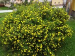 "Fingerstrauch - Potentilla fruticosa; Bildquelle: <a href=""https://www.pflanzen-deutschland.de/quellen.php?bild_quelle=Wikipedia User Selso"">Wikipedia User Selso</a>; Bildlizenz: <a href=""https://creativecommons.org/licenses/by/4.0/deed.de"" target=_blank title=""Namensnennung 4.0 International (CC BY 4.0)"">CC BY 4.0</a>; <br>Wiki Commons Bildbeschreibung: <a href=""https://commons.wikimedia.org/wiki/File:Potentilla_fruticosa_NT5.jpg"" target=_blank title=""https://commons.wikimedia.org/wiki/File:Potentilla_fruticosa_NT5.jpg"">https://commons.wikimedia.org/wiki/File:Potentilla_fruticosa_NT5.jpg</a>"
