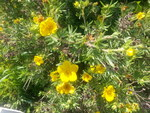 "Fingerstrauch - Potentilla fruticosa; Bildquelle: <a href=""https://www.pflanzen-deutschland.de/quellen.php?bild_quelle=Wikipedia User JohnOyston"">Wikipedia User JohnOyston</a>; Bildlizenz: <a href=""https://creativecommons.org/licenses/by-sa/1.2/deed.de"" target=_blank title=""Namensnennung - Weitergabe unter gleichen Bedingungen 1.2 Unported (CC BY-SA 1.2)"">CC BY 1.2</a>; <br>Wiki Commons Bildbeschreibung: <a href=""https://commons.wikimedia.org/wiki/File:Potentilla_fruticosa.jpg"" target=_blank title=""https://commons.wikimedia.org/wiki/File:Potentilla_fruticosa.jpg"">https://commons.wikimedia.org/wiki/File:Potentilla_fruticosa.jpg</a>"