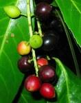 """Kirschlorbeer - Prunus laurocerasus; Bildquelle: <a href=""""https://www.pflanzen-deutschland.de/quellen.php?bild_quelle=Wikipedia User SABENCIA Guillermo Cesar Ruiz"""">Wikipedia User SABENCIA Guillermo Cesar Ruiz</a>; Bildlizenz: <a href=""""https://creativecommons.org/licenses/by/4.0/deed.de"""" target=_blank title=""""Namensnennung 4.0 International (CC BY 4.0)"""">CC BY 4.0</a>; <br>Wiki Commons Bildbeschreibung: <a href=""""https://commons.wikimedia.org/wiki/File:Prunus_laurocerasus._Llorera.jpg"""" target=_blank title=""""https://commons.wikimedia.org/wiki/File:Prunus_laurocerasus._Llorera.jpg"""">https://commons.wikimedia.org/wiki/File:Prunus_laurocerasus._Llorera.jpg</a>"""