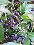 """Kirschlorbeer - Prunus laurocerasus; Bildquelle: <a href=""""https://www.pflanzen-deutschland.de/quellen.php?bild_quelle=Wikipedia User VoDeTan2"""">Wikipedia User VoDeTan2</a>; Bildlizenz: <a href=""""https://creativecommons.org/licenses/by-sa/3.0/deed.de"""" target=_blank title=""""Namensnennung - Weitergabe unter gleichen Bedingungen 3.0 Unported (CC BY-SA 3.0)"""">CC BY-SA 3.0</a>; <br>Wiki Commons Bildbeschreibung: <a href=""""https://commons.wikimedia.org/wiki/File:Prunus_laurocerasus_Frucht.jpg"""" target=_blank title=""""https://commons.wikimedia.org/wiki/File:Prunus_laurocerasus_Frucht.jpg"""">https://commons.wikimedia.org/wiki/File:Prunus_laurocerasus_Frucht.jpg</a>"""