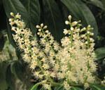 """Kirschlorbeer - Prunus laurocerasus; Bildquelle: <a href=""""https://www.pflanzen-deutschland.de/quellen.php?bild_quelle=Wikipedia User Luis Fernandez Garcia"""">Wikipedia User Luis Fernandez Garcia</a>; Bildlizenz: <a href=""""https://creativecommons.org/licenses/by-sa/3.0/deed.de"""" target=_blank title=""""Namensnennung - Weitergabe unter gleichen Bedingungen 3.0 Unported (CC BY-SA 3.0)"""">CC BY-SA 3.0</a>; <br>Wiki Commons Bildbeschreibung: <a href=""""https://commons.wikimedia.org/wiki/File:Prunus_laurocerasus_flores.jpg"""" target=_blank title=""""https://commons.wikimedia.org/wiki/File:Prunus_laurocerasus_flores.jpg"""">https://commons.wikimedia.org/wiki/File:Prunus_laurocerasus_flores.jpg</a>"""