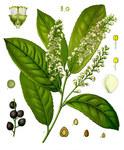 """Kirschlorbeer - Prunus laurocerasus; Bildquelle: <a href=""""https://www.pflanzen-deutschland.de/quellen.php?bild_quelle=Wikipedia User Kaldari"""">Wikipedia User Kaldari</a>; Bildlizenz: <a href=""""https://creativecommons.org/licenses/by-sa/3.0/deed.de"""" target=_blank title=""""Namensnennung - Weitergabe unter gleichen Bedingungen 3.0 Unported (CC BY-SA 3.0)"""">CC BY-SA 3.0</a>; <br>Wiki Commons Bildbeschreibung: <a href=""""https://commons.wikimedia.org/wiki/File:Prunus_laurocerasus_-_K%C3%B6hler%E2%80%93s_Medizinal-Pflanzen-249.jpg"""" target=_blank title=""""https://commons.wikimedia.org/wiki/File:Prunus_laurocerasus_-_K%C3%B6hler%E2%80%93s_Medizinal-Pflanzen-249.jpg"""">https://commons.wikimedia.org/wiki/File:Prunus_laurocerasus_-_K%C3%B6hler%E2%80%93s_Medizinal-Pflanzen-249.jpg</a>"""
