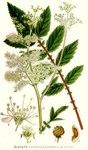 """Echtes Mädesüß - Filipendula ulmaria; Bildquelle: <a href=""""https://www.pflanzen-deutschland.de/quellen.php?bild_quelle=Carl Axel Magnus Lindman Bilder ur Nordens Flora 1901-1905"""">Carl Axel Magnus Lindman Bilder ur Nordens Flora 1901-1905</a>; Bildlizenz: <a href=""""https://creativecommons.org/licenses/publicdomain/deed.de"""" target=_blank title=""""Public Domain"""">Public Domain</a>;"""