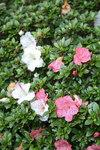 """Rhododendron - Rhododendron Yakushimanum Hybriden; Bildquelle: <a href=""""https://www.pflanzen-deutschland.de/quellen.php?bild_quelle=Wikipedia User File Upload Bot Magnus Manske"""">Wikipedia User File Upload Bot Magnus Manske</a>; Bildlizenz: <a href=""""https://creativecommons.org/licenses/by-sa/3.0/deed.de"""" target=_blank title=""""Namensnennung - Weitergabe unter gleichen Bedingungen 3.0 Unported (CC BY-SA 3.0)"""">CC BY-SA 3.0</a>;"""