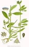 """Schlangenäuglein - Asperugo procumbens; Bildquelle: <a href=""""https://www.pflanzen-deutschland.de/quellen.php?bild_quelle=Carl Axel Magnus Lindman Bilder ur Nordens Flora 1901-1905"""">Carl Axel Magnus Lindman Bilder ur Nordens Flora 1901-1905</a>; Bildlizenz: <a href=""""https://creativecommons.org/licenses/publicdomain/deed.de"""" target=_blank title=""""Public Domain"""">Public Domain</a>;"""