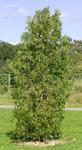 """Abendländische Thuja - Thuja occidentalis; Bildquelle: <a href=""""https://www.pflanzen-deutschland.de/quellen.php?bild_quelle=Wikipedia User Aka"""">Wikipedia User Aka</a>; Bildlizenz: <a href=""""https://creativecommons.org/licenses/by-sa/3.0/deed.de"""" target=_blank title=""""Namensnennung - Weitergabe unter gleichen Bedingungen 3.0 Unported (CC BY-SA 3.0)"""">CC BY-SA 3.0</a>;"""