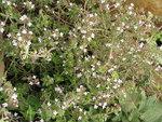 "Echter Thymian - Thymus vulgaris; Bildquelle: © <a href=""https://www.pflanzen-deutschland.de/quellen.php?bild_quelle=Bönisch 2012"">Bönisch 2012</a> - <b>All rights reserved</b>"