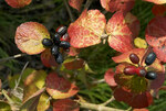 """Korea-Duft-Schneeball - Viburnum carlesii; Bildquelle: <a href=""""https://www.pflanzen-deutschland.de/quellen.php?bild_quelle=Wikipedia User Wouterhagens"""">Wikipedia User Wouterhagens</a>; Bildlizenz: <a href=""""https://creativecommons.org/licenses/by-sa/3.0/deed.de"""" target=_blank title=""""Namensnennung - Weitergabe unter gleichen Bedingungen 3.0 Unported (CC BY-SA 3.0)"""">CC BY-SA 3.0</a>;"""