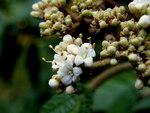 """Immergrüner Großblatt Schneeball - Viburnum rhytidophyllum; Bildquelle: <a href=""""https://www.pflanzen-deutschland.de/quellen.php?bild_quelle=Wikipedia User Marrrrrra"""">Wikipedia User Marrrrrra</a>; Bildlizenz: <a href=""""https://creativecommons.org/licenses/by/4.0/deed.de"""" target=_blank title=""""Namensnennung 4.0 International (CC BY 4.0)"""">CC BY 4.0</a>; <br>Wiki Commons Bildbeschreibung: <a href=""""https://commons.wikimedia.org/wiki/File:Viburnum_rhytidophyllum_(12).JPG"""" target=_blank title=""""https://commons.wikimedia.org/wiki/File:Viburnum_rhytidophyllum_(12).JPG"""">https://commons.wikimedia.org/wiki/File:Viburnum_rhytidophyllum_(12).JPG</a>"""