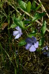 "Immergrün - Vinca major; Bildquelle: <a href=""https://www.pflanzen-deutschland.de/quellen.php?bild_quelle=Wikipedia User Henderl"">Wikipedia User Henderl</a>; Bildlizenz: <a href=""https://creativecommons.org/licenses/publicdomain/deed.de"" target=_blank title=""Public Domain"">Public Domain</a>;"