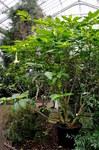 """Gold-Engelstrompete - Brugmansia aurea; Bildquelle: <a href=""""https://www.pflanzen-deutschland.de/quellen.php?bild_quelle=Wikipedia User Paul Hermans"""">Wikipedia User Paul Hermans</a>; Bildlizenz: <a href=""""https://creativecommons.org/licenses/by-sa/3.0/deed.de"""" target=_blank title=""""Namensnennung - Weitergabe unter gleichen Bedingungen 3.0 Unported (CC BY-SA 3.0)"""">CC BY-SA 3.0</a>; <br>Wiki Commons Bildbeschreibung: <a href=""""https://commons.wikimedia.org/wiki/File:Brugmansia_aurea_(Solanaceae)_Nationale_Plantentuin_Meise_10-01-2010_14-01-51.JPG"""" target=_blank title=""""https://commons.wikimedia.org/wiki/File:Brugmansia_aurea_(Solanaceae)_Nationale_Plantentuin_Meise_10-01-2010_14-01-51.JPG"""">https://commons.wikimedia.org/wiki/File:Brugmansia_aurea_(Solanaceae)_Nationale_Plantentuin_Meise_10-01-2010_14-01-51.JPG</a>"""
