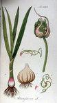"""Knoblauch - Allium sativum; Bildquelle: <a href=""""https://www.pflanzen-deutschland.de/quellen.php?bild_quelle=Adolphus Ypey 1813"""">Adolphus Ypey 1813</a>; Bildlizenz: <a href=""""https://creativecommons.org/licenses/by-sa/3.0/deed.de"""" target=_blank title=""""Namensnennung - Weitergabe unter gleichen Bedingungen 3.0 Unported (CC BY-SA 3.0)"""">CC BY-SA 3.0</a>;"""