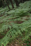 "Adlerfarn - Pteridium aquilinum; Bildquelle: <a href=""https://www.pflanzen-deutschland.de/quellen.php?bild_quelle=Wikipedia User Danny S."">Wikipedia User Danny S.</a>; Bildlizenz: <a href=""https://creativecommons.org/licenses/by-sa/3.0/deed.de"" target=_blank title=""Namensnennung - Weitergabe unter gleichen Bedingungen 3.0 Unported (CC BY-SA 3.0)"">CC BY-SA 3.0</a>; <br>Wiki Commons Bildbeschreibung: <a href=""https://commons.wikimedia.org/wiki/File:Pteridium_aquilinum_by_Danny_S._-_001.jpg"" target=_blank title=""https://commons.wikimedia.org/wiki/File:Pteridium_aquilinum_by_Danny_S._-_001.jpg"">https://commons.wikimedia.org/wiki/File:Pteridium_aquilinum_by_Danny_S._-_001.jpg</a>"