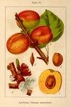 "Aprikose - Prunus armeniaca; Bildquelle: <a href=""https://www.pflanzen-deutschland.de/quellen.php?bild_quelle=Deutschlands Flora in Abbildungen 1796"">Deutschlands Flora in Abbildungen 1796</a>; Bildlizenz: <a href=""https://creativecommons.org/licenses/publicdomain/deed.de"" target=_blank title=""Public Domain"">Public Domain</a>;"