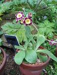 """Garten-Aurikel - Primula x pubescens; Bildquelle: <a href=""""https://www.pflanzen-deutschland.de/quellen.php?bild_quelle=Wikipedia User KENPEI"""">Wikipedia User KENPEI</a>; Bildlizenz: <a href=""""https://creativecommons.org/licenses/by-sa/3.0/deed.de"""" target=_blank title=""""Namensnennung - Weitergabe unter gleichen Bedingungen 3.0 Unported (CC BY-SA 3.0)"""">CC BY-SA 3.0</a>;"""