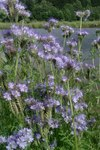 """Rainfarnblättriges Büschelschön - Phacelia tanacetifolia; Bildquelle: © <a href=""""https://www.pflanzen-deutschland.de/quellen.php?bild_quelle=Bönisch 2009"""">Bönisch 2009</a> - <b>All rights reserved</b>"""