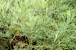 "Eberraute - Artemisia abrotanum; Bildquelle: <a href=""https://www.pflanzen-deutschland.de/quellen.php?bild_quelle=Wikipedia User Aka"">Wikipedia User Aka</a>; Bildlizenz: <a href=""https://creativecommons.org/licenses/by-sa/3.0/deed.de"" target=_blank title=""Namensnennung - Weitergabe unter gleichen Bedingungen 3.0 Unported (CC BY-SA 3.0)"">CC BY-SA 3.0</a>; <br>Wiki Commons Bildbeschreibung: <a href=""https://commons.wikimedia.org/wiki/File:Artemisia_abrotanum_-_close-up_1_(aka).jpg"" target=_blank title=""https://commons.wikimedia.org/wiki/File:Artemisia_abrotanum_-_close-up_1_(aka).jpg"">https://commons.wikimedia.org/wiki/File:Artemisia_abrotanum_-_close-up_1_(aka).jpg</a>"