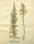 """Eberraute - Artemisia abrotanum; Bildquelle: <a href=""""https://www.pflanzen-deutschland.de/quellen.php?bild_quelle=Wikipedia User Oceancetaceen"""">Wikipedia User Oceancetaceen</a>; Bildlizenz: <a href=""""https://creativecommons.org/licenses/publicdomain/deed.de"""" target=_blank title=""""Public Domain"""">Public Domain</a>;"""