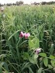 "Erbse - Pisum sativum; Bildquelle: © <a href=""https://www.pflanzen-deutschland.de/quellen.php?bild_quelle=Madwe, Vieln Dank"">Madwe, Vieln Dank</a> - <b>All rights reserved</b>"