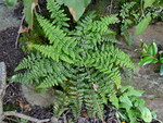"Französischer Streifenfarn - Asplenium foreziense; Bildquelle: <a href=""https://www.pflanzen-deutschland.de/quellen.php?bild_quelle=Wikipedia User Johan N"">Wikipedia User Johan N</a>; Bildlizenz: <a href=""https://creativecommons.org/licenses/by-sa/3.0/deed.de"" target=_blank title=""Namensnennung - Weitergabe unter gleichen Bedingungen 3.0 Unported (CC BY-SA 3.0)"">CC BY-SA 3.0</a>; <br>Wiki Commons Bildbeschreibung: <a href=""https://commons.wikimedia.org/wiki/File:Asplenium_foreziense_001.JPG"" target=_blank title=""https://commons.wikimedia.org/wiki/File:Asplenium_foreziense_001.JPG"">https://commons.wikimedia.org/wiki/File:Asplenium_foreziense_001.JPG</a>"