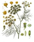 "Fenchel - Foeniculum vulgare; Bildquelle: <a href=""https://www.pflanzen-deutschland.de/quellen.php?bild_quelle=Wikipedia User Editor at Large"">Wikipedia User Editor at Large</a>; Bildlizenz: <a href=""https://creativecommons.org/licenses/by-sa/3.0/deed.de"" target=_blank title=""Namensnennung - Weitergabe unter gleichen Bedingungen 3.0 Unported (CC BY-SA 3.0)"">CC BY-SA 3.0</a>;"