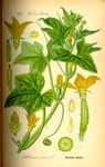"""Gurke - Cucumis sativus; Bildquelle: <a href=""""https://www.pflanzen-deutschland.de/quellen.php?bild_quelle=Prof. Dr. Otto Wilhelm Thome Flora von Deutschland, Österreich und der Schweiz 1885, Gera, Germany"""">Prof. Dr. Otto Wilhelm Thome Flora von Deutschland, Österreich und der Schweiz 1885, Gera, Germany</a>; Bildlizenz: <a href=""""https://creativecommons.org/licenses/publicdomain/deed.de"""" target=_blank title=""""Public Domain"""">Public Domain</a>;"""