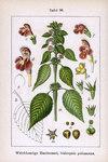 """Weichhaariger Hohlzahn - Galeopsis pubescens; Bildquelle: <a href=""""https://www.pflanzen-deutschland.de/quellen.php?bild_quelle=Wikipedia User PicTrans"""">Wikipedia User PicTrans</a>; Bildlizenz: <a href=""""https://creativecommons.org/licenses/by-sa/3.0/deed.de"""" target=_blank title=""""Namensnennung - Weitergabe unter gleichen Bedingungen 3.0 Unported (CC BY-SA 3.0)"""">CC BY-SA 3.0</a>;"""
