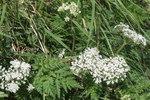 """Alpen Kälberkropf  - Chaerophyllum villarsii; Bildquelle: <a href=""""https://www.pflanzen-deutschland.de/quellen.php?bild_quelle=Wikipedia User HermannSchachner"""">Wikipedia User HermannSchachner</a>; Bildlizenz: <a href=""""https://creativecommons.org/licenses/by-sa/3.0/deed.de"""" target=_blank title=""""Namensnennung - Weitergabe unter gleichen Bedingungen 3.0 Unported (CC BY-SA 3.0)"""">CC BY-SA 3.0</a>;"""