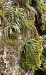 """Grüner Streifenfarn - Asplenium viride; Bildquelle: <a href=""""https://www.pflanzen-deutschland.de/quellen.php?bild_quelle=Wikipedia User BerndH"""">Wikipedia User BerndH</a>; Bildlizenz: <a href=""""https://creativecommons.org/licenses/by-sa/3.0/deed.de"""" target=_blank title=""""Namensnennung - Weitergabe unter gleichen Bedingungen 3.0 Unported (CC BY-SA 3.0)"""">CC BY-SA 3.0</a>; <br>Wiki Commons Bildbeschreibung: <a href=""""https://commons.wikimedia.org/wiki/File:Asplenium_viride_280208.jpg"""" target=_blank title=""""https://commons.wikimedia.org/wiki/File:Asplenium_viride_280208.jpg"""">https://commons.wikimedia.org/wiki/File:Asplenium_viride_280208.jpg</a>"""