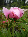 "Gemeine Pfingstrose - Paeonia officinalis; Bildquelle: <a href=""https://www.pflanzen-deutschland.de/quellen.php?bild_quelle=Wikipedia User Lisa.angelini"">Wikipedia User Lisa.angelini</a>; Bildlizenz: <a href=""https://creativecommons.org/licenses/by-sa/3.0/deed.de"" target=_blank title=""Namensnennung - Weitergabe unter gleichen Bedingungen 3.0 Unported (CC BY-SA 3.0)"">CC BY-SA 3.0</a>; <br>Wiki Commons Bildbeschreibung: <a href=""https://commons.wikimedia.org/wiki/File:Paeonia_officinalis,_Giardino_Botanico_Alpino_Viote.JPG"" target=_blank title=""https://commons.wikimedia.org/wiki/File:Paeonia_officinalis,_Giardino_Botanico_Alpino_Viote.JPG"">https://commons.wikimedia.org/wiki/File:Paeonia_officinalis,_Giardino_Botanico_Alpino_Viote.JPG</a>"