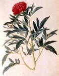 "Gemeine Pfingstrose - Paeonia officinalis; Bildquelle: <a href=""https://www.pflanzen-deutschland.de/quellen.php?bild_quelle=Wikipedia User File Upload Bot Magnus Manske"">Wikipedia User File Upload Bot Magnus Manske</a>; Bildlizenz: <a href=""https://creativecommons.org/licenses/publicdomain/deed.de"" target=_blank title=""Public Domain"">Public Domain</a>;"