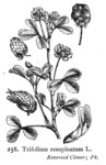 "Persischer Klee - Trifolium resupinatum; Bildquelle: <a href=""https://www.pflanzen-deutschland.de/quellen.php?bild_quelle=Illustrations of the British Flora 1924 - Walter Hood Fitch"">Illustrations of the British Flora 1924 - Walter Hood Fitch</a>; Bildlizenz: <a href=""https://creativecommons.org/licenses/publicdomain/deed.de"" target=_blank title=""Public Domain"">Public Domain</a>;"