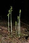 """Korallenwurz - Corallorhiza trifida; Bildquelle: <a href=""""https://www.pflanzen-deutschland.de/quellen.php?bild_quelle=Wikipedia User BerndH"""">Wikipedia User BerndH</a>; Bildlizenz: <a href=""""https://creativecommons.org/licenses/by-sa/3.0/deed.de"""" target=_blank title=""""Namensnennung - Weitergabe unter gleichen Bedingungen 3.0 Unported (CC BY-SA 3.0)"""">CC BY-SA 3.0</a>;"""