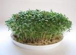 """Gartenkresse - Lepidium sativum; Bildquelle: © <a href=""""https://www.pflanzen-deutschland.de/quellen.php?bild_quelle=Bönisch 2011"""">Bönisch 2011</a> - <b>All rights reserved</b>"""