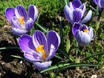 "Safran-Krokus - Crocus sativus; Bildquelle: <a href=""https://www.pflanzen-deutschland.de/quellen.php?bild_quelle=Wikipedia User Selso"">Wikipedia User Selso</a>; Bildlizenz: <a href=""https://creativecommons.org/licenses/by-sa/3.0/deed.de"" target=_blank title=""Namensnennung - Weitergabe unter gleichen Bedingungen 3.0 Unported (CC BY-SA 3.0)"">CC BY-SA 3.0</a>;"