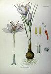 """Safran-Krokus - Crocus sativus; Bildquelle: <a href=""""https://www.pflanzen-deutschland.de/quellen.php?bild_quelle=Köhlers Medizinal-Pflanzen in naturgetreuen Abbildungen mit kurz erläuterndem Texte. Band 2. 1887"""">Köhlers Medizinal-Pflanzen in naturgetreuen Abbildungen mit kurz erläuterndem Texte. Band 2. 1887</a>; Bildlizenz: <a href=""""https://creativecommons.org/licenses/publicdomain/deed.de"""" target=_blank title=""""Public Domain"""">Public Domain</a>;"""