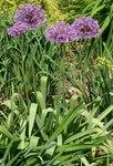"""Iran-Lauch - Allium aflatunense; Bildquelle: <a href=""""https://www.pflanzen-deutschland.de/quellen.php?bild_quelle=Wikipedia User SB Johnny"""">Wikipedia User SB Johnny</a>; Bildlizenz: <a href=""""https://creativecommons.org/licenses/by-sa/3.0/deed.de"""" target=_blank title=""""Namensnennung - Weitergabe unter gleichen Bedingungen 3.0 Unported (CC BY-SA 3.0)"""">CC BY-SA 3.0</a>;"""