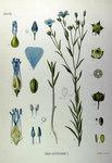 """Saat-Lein - Linum usitatissimum; Bildquelle: <a href=""""https://www.pflanzen-deutschland.de/quellen.php?bild_quelle=Köhlers Medizinal-Pflanzen in naturgetreuen Abbildungen mit kurz erläuterndem Texte. Band 1. 1887"""">Köhlers Medizinal-Pflanzen in naturgetreuen Abbildungen mit kurz erläuterndem Texte. Band 1. 1887</a>; Bildlizenz: <a href=""""https://creativecommons.org/licenses/publicdomain/deed.de"""" target=_blank title=""""Public Domain"""">Public Domain</a>;"""