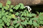 """Hellgelber Lerchensporn - Corydalis alba; Bildquelle: <a href=""""https://www.pflanzen-deutschland.de/quellen.php?bild_quelle=Wikipedia User Sporti"""">Wikipedia User Sporti</a>; Bildlizenz: <a href=""""https://creativecommons.org/licenses/by-sa/2.5/deed.de"""" target=_blank title=""""Namensnennung - Weitergabe unter gleichen Bedingungen 2.5 Unported (CC BY-SA 2.5)"""">CC BY 2.5</a>; <br>Wiki Commons Bildbeschreibung: <a href=""""https://commons.wikimedia.org/wiki/File:Pseudofumaria_alba_PID718-2.jpg"""" target=_blank title=""""https://commons.wikimedia.org/wiki/File:Pseudofumaria_alba_PID718-2.jpg"""">https://commons.wikimedia.org/wiki/File:Pseudofumaria_alba_PID718-2.jpg</a>"""
