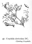 "Rankender Lerchensporn - Corydalis claviculata; Bildquelle: <a href=""https://www.pflanzen-deutschland.de/quellen.php?bild_quelle=Illustrations of the British Flora 1924 - Walter Hood Fitch"">Illustrations of the British Flora 1924 - Walter Hood Fitch</a>; Bildlizenz: <a href=""https://creativecommons.org/licenses/publicdomain/deed.de"" target=_blank title=""Public Domain"">Public Domain</a>;"