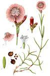 "Buschnelke - Dianthus seguieri; Bildquelle: <a href=""https://www.pflanzen-deutschland.de/quellen.php?bild_quelle=Deutschlands Flora in Abbildungen 1796"">Deutschlands Flora in Abbildungen 1796</a>; Bildlizenz: <a href=""https://creativecommons.org/licenses/publicdomain/deed.de"" target=_blank title=""Public Domain"">Public Domain</a>;"