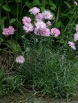 "Feder-Nelke - Dianthus plumarius; Bildquelle: © <a href=""https://www.pflanzen-deutschland.de/quellen.php?bild_quelle=Bönisch 2009"">Bönisch 2009</a> - <b>All rights reserved</b>"