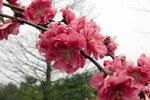 """Pfirsich - Prunus persica; Bildquelle: <a href=""""https://www.pflanzen-deutschland.de/quellen.php?bild_quelle=Wikipedia User David Stang"""">Wikipedia User David Stang</a>; Bildlizenz: <a href=""""https://creativecommons.org/licenses/by/4.0/deed.de"""" target=_blank title=""""Namensnennung 4.0 International (CC BY 4.0)"""">CC BY 4.0</a>; <br>Wiki Commons Bildbeschreibung: <a href=""""https://commons.wikimedia.org/wiki/File:Prunus_persica_Crimson_Cascade_0zz.jpg"""" target=_blank title=""""https://commons.wikimedia.org/wiki/File:Prunus_persica_Crimson_Cascade_0zz.jpg"""">https://commons.wikimedia.org/wiki/File:Prunus_persica_Crimson_Cascade_0zz.jpg</a>"""