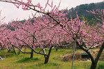 """Pfirsich - Prunus persica; Bildquelle: <a href=""""https://www.pflanzen-deutschland.de/quellen.php?bild_quelle=Wikipedia User E-190"""">Wikipedia User E-190</a>; Bildlizenz: <a href=""""https://creativecommons.org/licenses/by-sa/3.0/deed.de"""" target=_blank title=""""Namensnennung - Weitergabe unter gleichen Bedingungen 3.0 Unported (CC BY-SA 3.0)"""">CC BY-SA 3.0</a>;"""