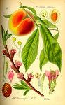 """Pfirsich - Prunus persica; Bildquelle: <a href=""""https://www.pflanzen-deutschland.de/quellen.php?bild_quelle=Prof. Dr. Otto Wilhelm Thom� Flora von Deutschland, Österreich und der Schweiz 1885, Gera, Germany"""">Prof. Dr. Otto Wilhelm Thom� Flora von Deutschland, Österreich und der Schweiz 1885, Gera, Germany</a>; Bildlizenz: <a href=""""https://creativecommons.org/licenses/publicdomain/deed.de"""" target=_blank title=""""Public Domain"""">Public Domain</a>;"""