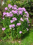 "Stauden-Phlox - Phlox paniculata; Bildquelle: © <a href=""https://www.pflanzen-deutschland.de/quellen.php?bild_quelle=Bönisch 2010"">Bönisch 2010</a> - <b>All rights reserved</b>"