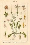 """Moschus Reiherschnabel - Erodium moschatum; Bildquelle: <a href=""""https://www.pflanzen-deutschland.de/quellen.php?bild_quelle=Deutschlands Flora in Abbildungen 1796"""">Deutschlands Flora in Abbildungen 1796</a>; Bildlizenz: <a href=""""https://creativecommons.org/licenses/publicdomain/deed.de"""" target=_blank title=""""Public Domain"""">Public Domain</a>;"""