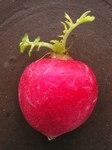 """Garten-Rettich - Raphanus sativus; Bildquelle: <a href=""""https://www.pflanzen-deutschland.de/quellen.php?bild_quelle=Wikipedia User Bff"""">Wikipedia User Bff</a>; Bildlizenz: <a href=""""https://creativecommons.org/licenses/by-sa/3.0/deed.de"""" target=_blank title=""""Namensnennung - Weitergabe unter gleichen Bedingungen 3.0 Unported (CC BY-SA 3.0)"""">CC BY-SA 3.0</a>;"""