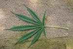 """Hanf - Cannabis sativa; Bildquelle: <a href=""""https://www.pflanzen-deutschland.de/quellen.php?bild_quelle=Wikipedia User Rotational"""">Wikipedia User Rotational</a>; Bildlizenz: <a href=""""https://creativecommons.org/licenses/by-sa/3.0/deed.de"""" target=_blank title=""""Namensnennung - Weitergabe unter gleichen Bedingungen 3.0 Unported (CC BY-SA 3.0)"""">CC BY-SA 3.0</a>;"""